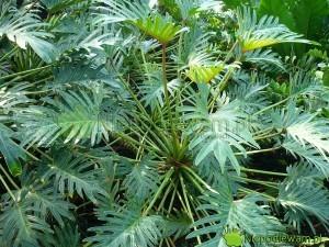 Filodendron Xanadu to roślina doniczkowa ozdobna z liści. Fot. Niepodlewam