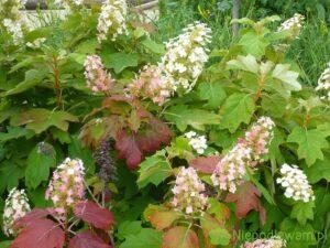 Hortensja dębolistna ma kwiaty i liście przebarwiające się na różowo i czerwono już od lata. Fot. Niepodlewam