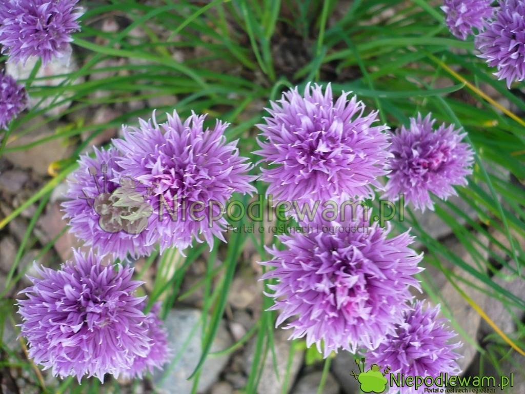 Kwiaty szczypiorku także nadają się dojedzenia. For. Niepodlewam