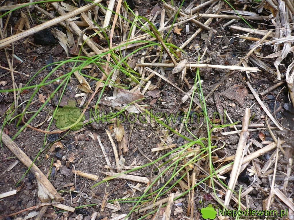 Wschodzący szczypiorek przypomina zielone niteczki. Fot.Niepodlewam