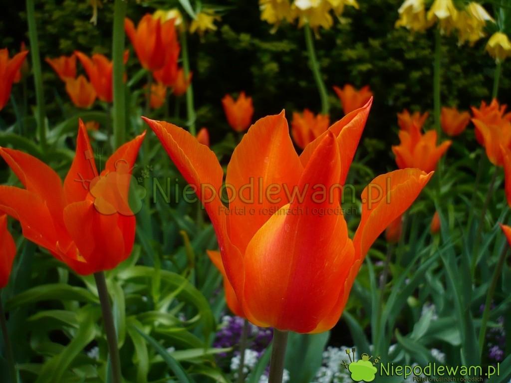 Tulipany Ballerina mają ciekawy kolor = pomarańczowy cieniowany żółtym. Fot.Niepodlewam