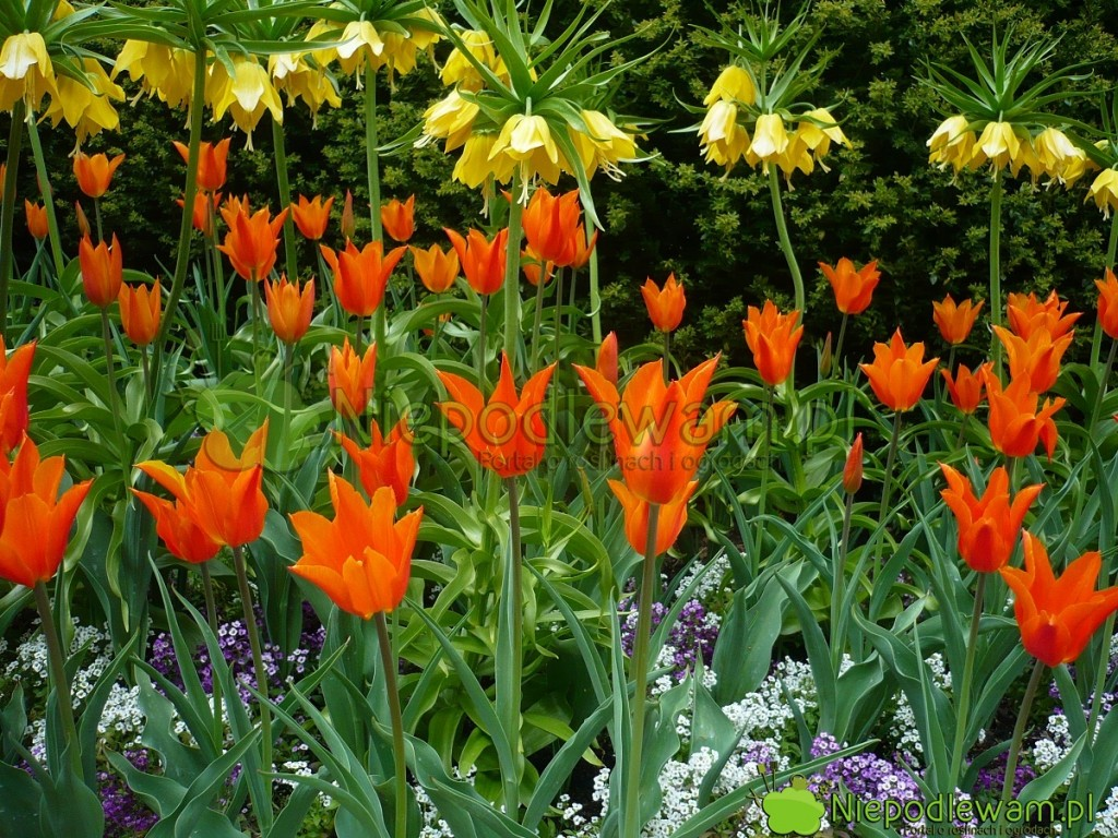 Tulipany Ballerina narabacie zżółtymi koronami cesarskimi. Fot.Niepodlewam
