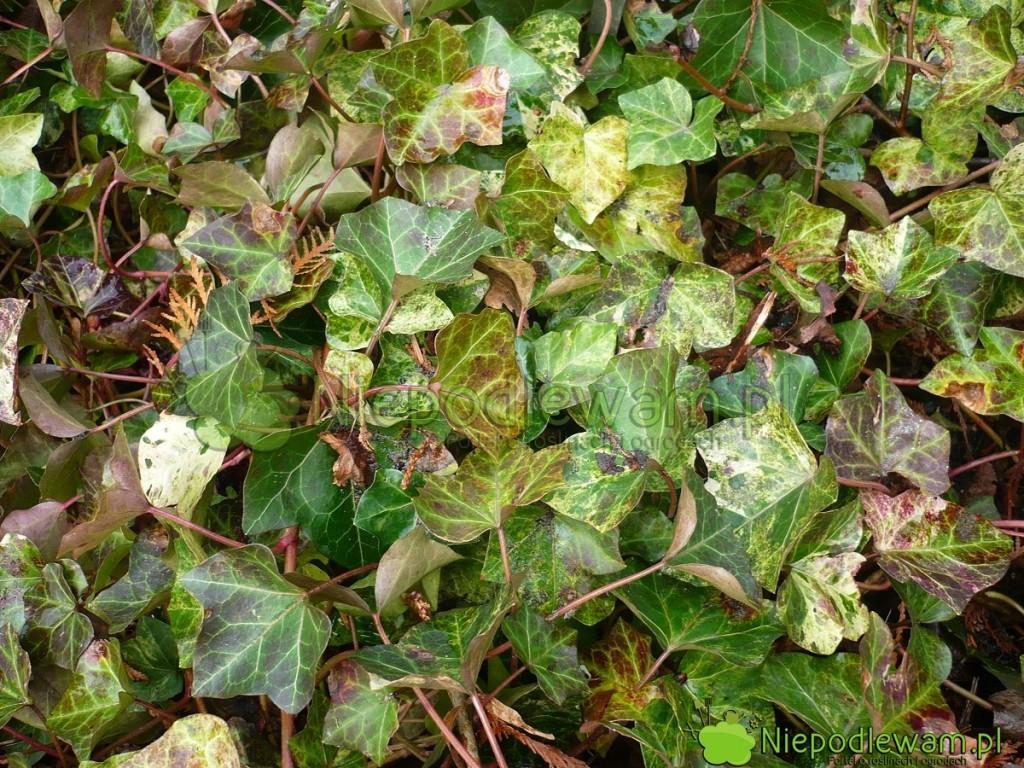 W czasie zimy liście bluszczy Profesor Seneta są bardziej szare ilekko czerwienieją. Fot.Niepodlewam