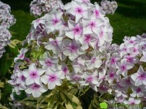 Floks wiechowaty Norah Leigh to odmiana z XIX wieku. Ma pstre liście i średnio mocny zapach. Fot. Niepodlewam