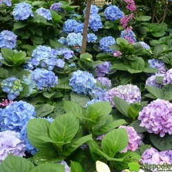 Hortensje ogrodowe kwitną bardzo obficie. Ich kwiatostany są często kuliste, jak duże pompony. Fot. Niepodlewam