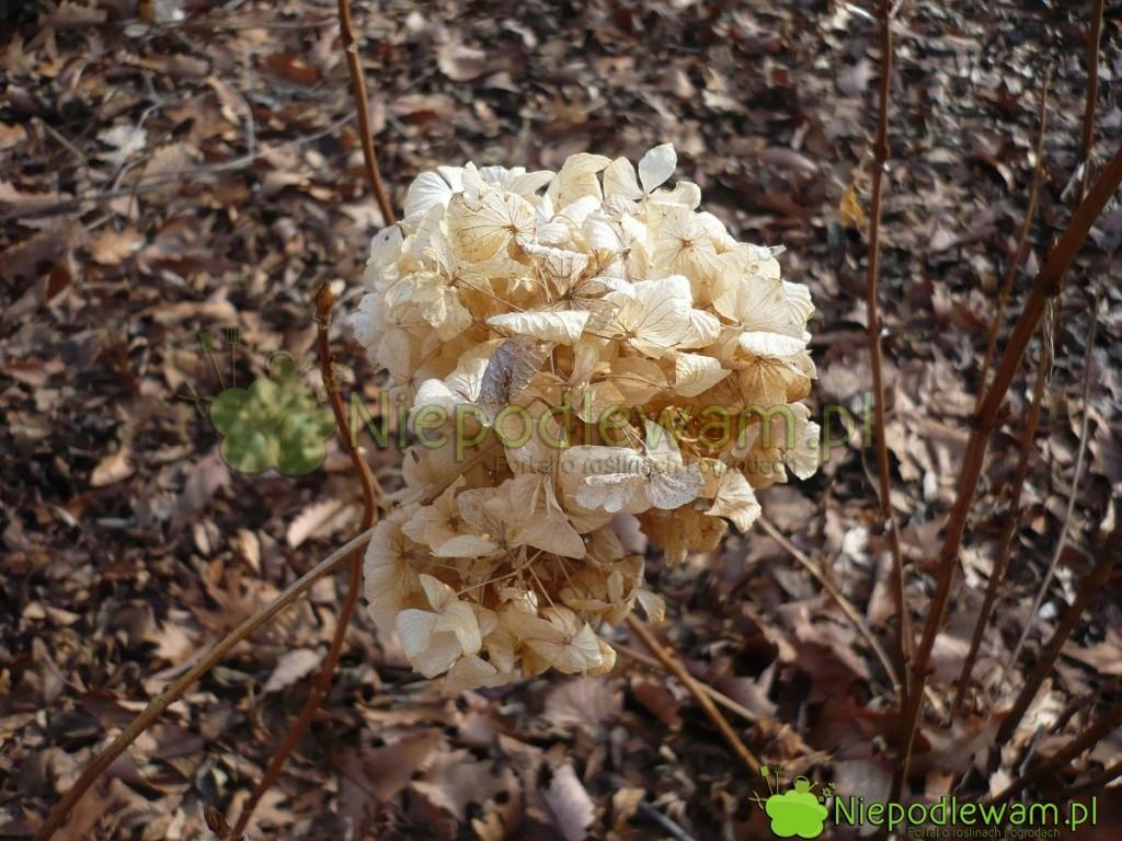 Przekwitłe kwiatostany hortensji ogrodowej są zimową   dekoracją ogrodu. Nazdjęcie jest odmiana Bouquet Rose. Fot.Niepdlewam