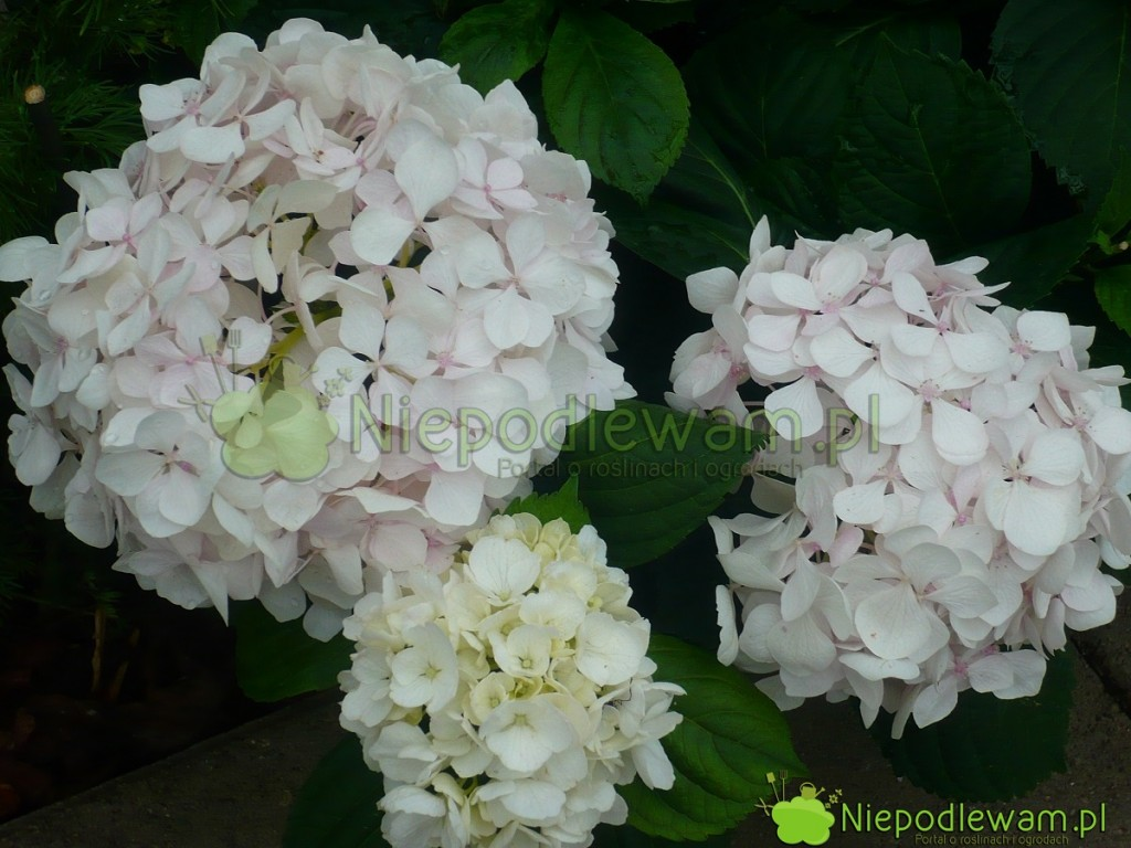 Biała hortensja ogrodowa Sister Teresa. Fot.Niepodlewam