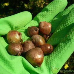 Na sadzenie krokusów najlepsze są wrzesień i pierwsze dni października (IX-X). Fot. Niepdlewam
