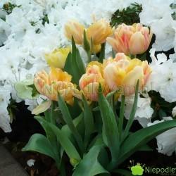 Tulipan Foxy Foxtrot wspaniale pachnie. W kolorystyce jego kwiatów przeważy żółty w różnych odcieniach. Jest cieniowany barwą różową. Fot. Niepodlewam