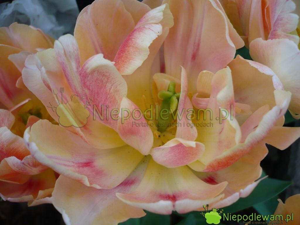 Słupki tulipanów Foxy Foxtrot są zielone. Fot.Niepodlewam