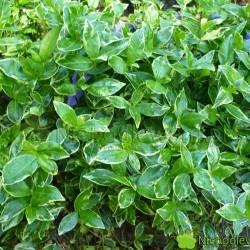 Barwinek pospolity Ralph Shugert tworzy piękne kobierce. Ma pstre liście i niebieskie kwiaty. Fot. Niepodlewam