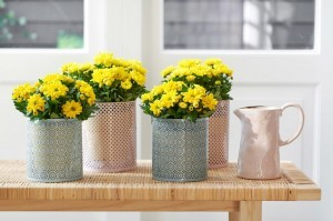 Chryzantema jest uprawiana najczęściej jako kwiat jednoroczny w donicach. Nadaje się też do sadzenia w gruncie. Fot. Niepodlewam