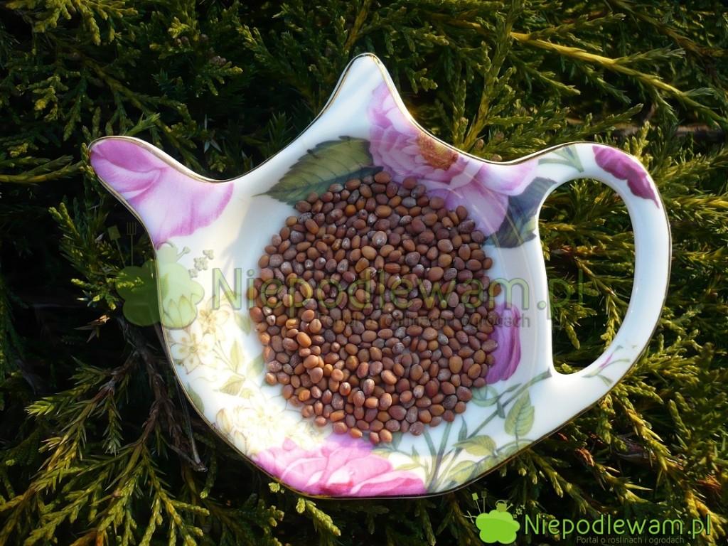 Nasiona rzodkiewki Candela di Fuoco. Fot.Niepodlewam