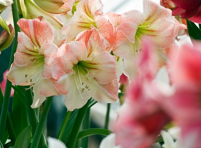 Hipeastrum Apple Blossom. Fot.iBulb