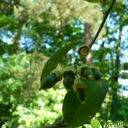 Cytryny zawiązują zwykle bardzo dużo owoców. Najczęściej nie są w stanie ich wykarmić. Większość opada. Fot. Niepodlewam