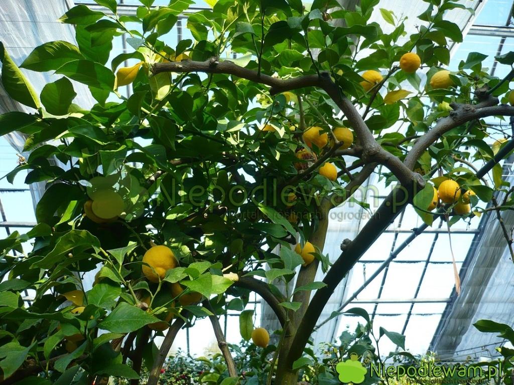 Cytryny woranżeriach wyrastają nadrzewka owysokości 2-3 metrów. Ich owoce rzadziej przedwcześnie opadają. Fot.Niepodlewam