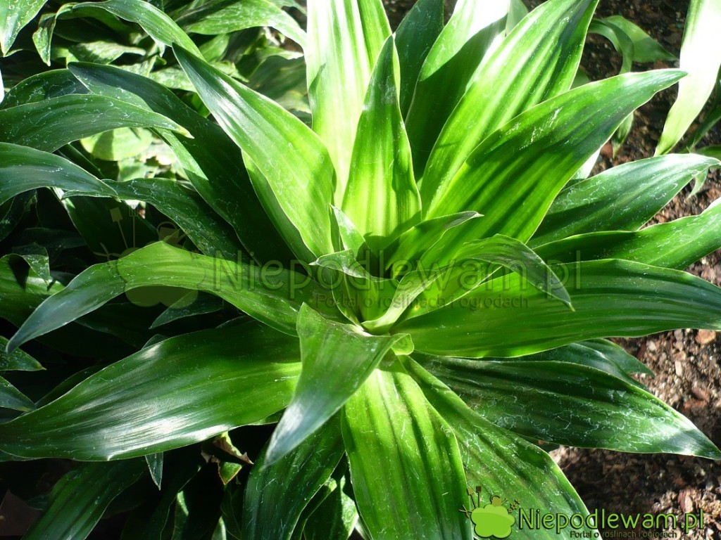 Niektóre draceny wonne mają zielone liście. Nazdjęciu jest odmiana Janet Craig. Fot.Nipodlewam