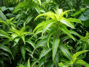 Dracena wonna to roślina pokojowa, ozdobna z liści. Czyści powietrze w mieszkaniu ze szkodliwych dla zdrowia ludzi substancji. Fot. Niepodlewam