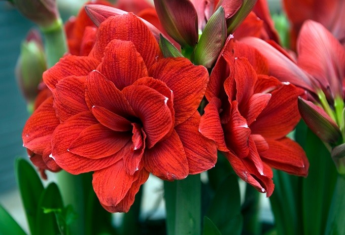 Hippeastrum Double Dragon. Fot. iBulb