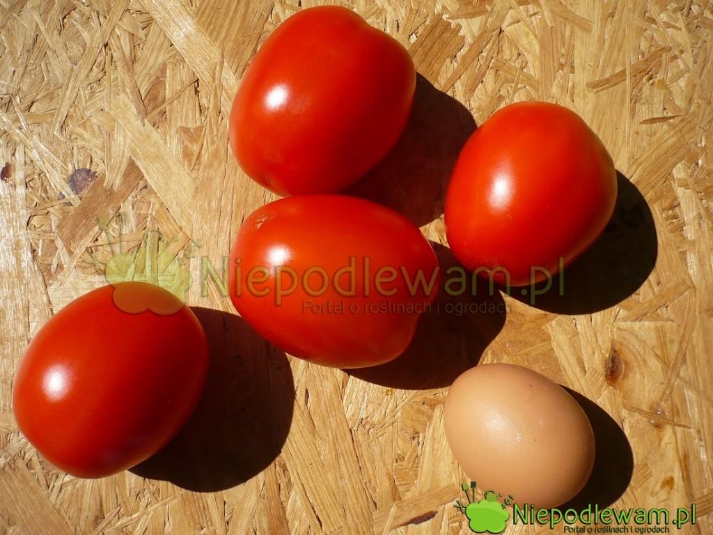 Pomidor Mieszko ma czerwone owoce wkształcie jajka. Fot.Niepodlewam