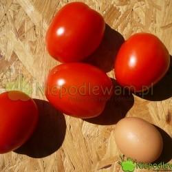 Pomidor Mieszko ma czerwone owoce w kształcie jajka. Fot. Niepodlewam