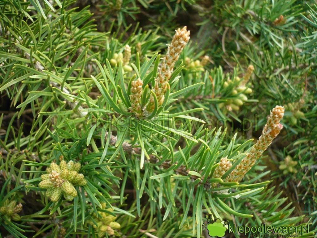 Kwiaty męskie iżeńskie sosny Banksa Schoodic. Fot.Niepodlewam