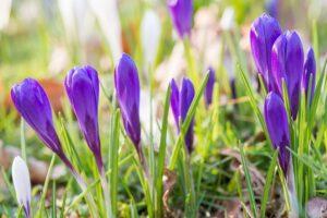 Krokusy zaczynają zwykle kwitnąć w marcu (III). Gdy krokusy wschodzą w grudniu, warto je okryć. Fot. iBulb