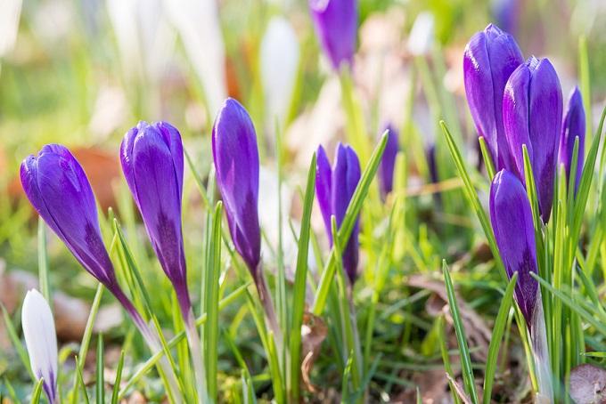 Krokusy zaczynają zwykle kwitnąć wmarcu (III). Gdykrokusy wschodzą wgrudniu, warto je okryć. Fot.iBulb