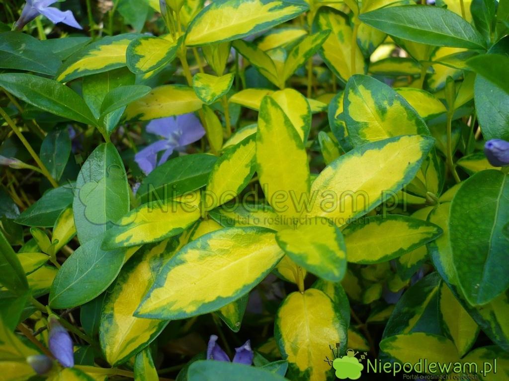 Żółto-zielony kolor liści barwinka zwraca uwagę. Fot.Niepodlewam