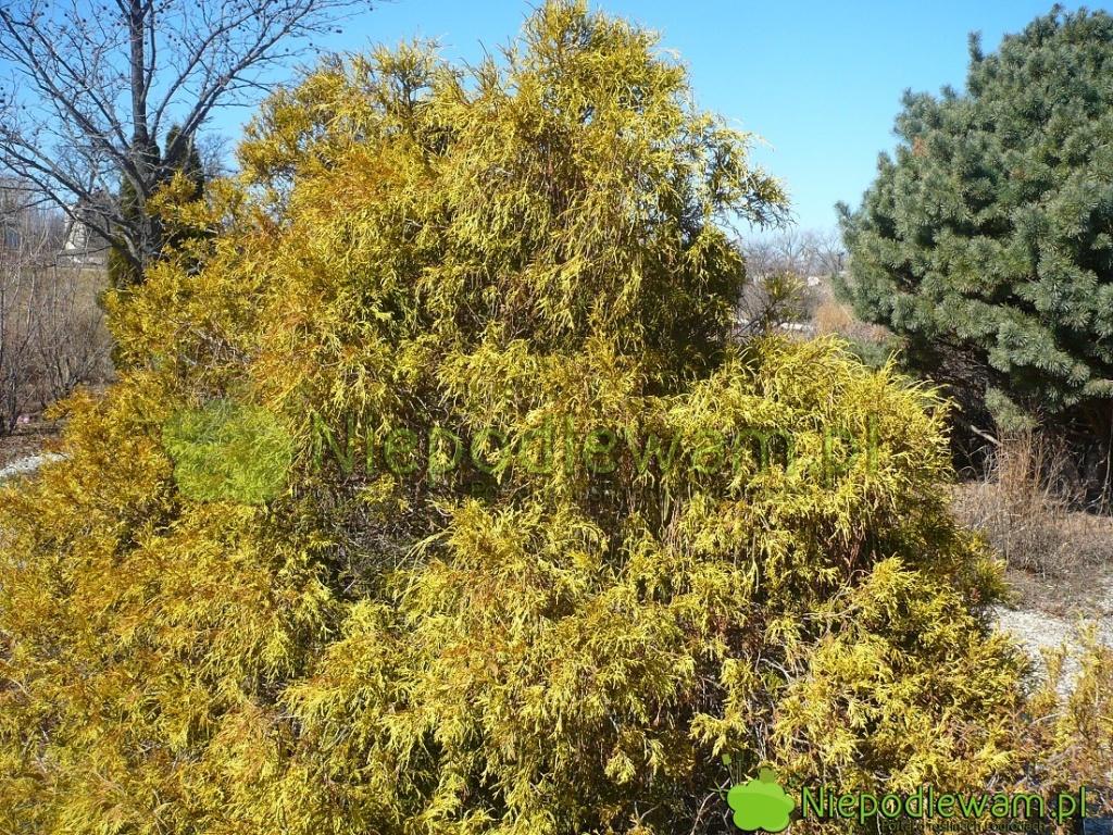 Cyprysiki groszkowe Golden Mop rosną bardzo wolno. Ma pokrój luźnej kopki siana. Fot.Niepodlewam