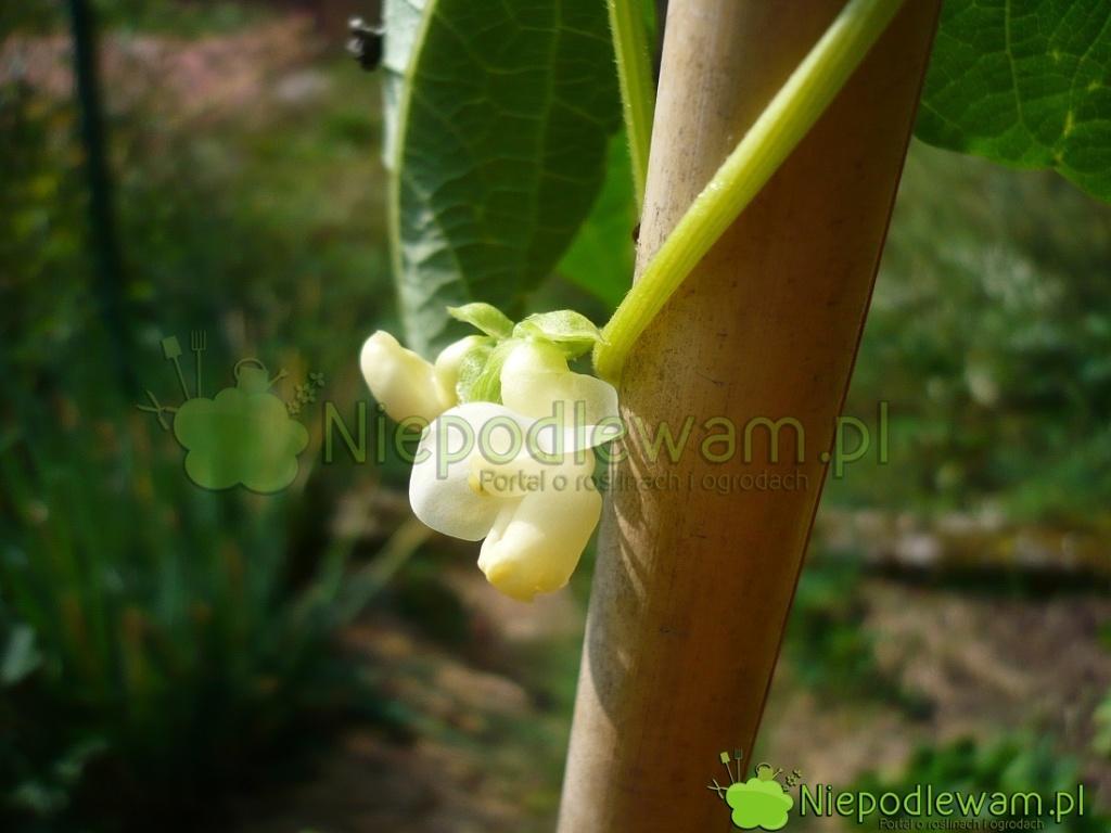 Kwiaty fasoli Goldmarie są białe. Fot.Niepodlewam