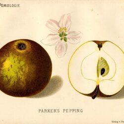 """Jabłoń Pepina Parkera – rysunek z książki """"Deutsche Pomologie"""" Wilhelma Lauche z 1882-1883, ze zborów biblioteki Wageningen UR. Jej inna dawna polska nazwa to Parkera."""