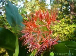 Krasnokwiat Katarzyny kwitnie na czerwono. Kwiaty są drobne, zebrane w kwiatostan. To roślina łatwa w uprawie. Fot. Niepodlewam