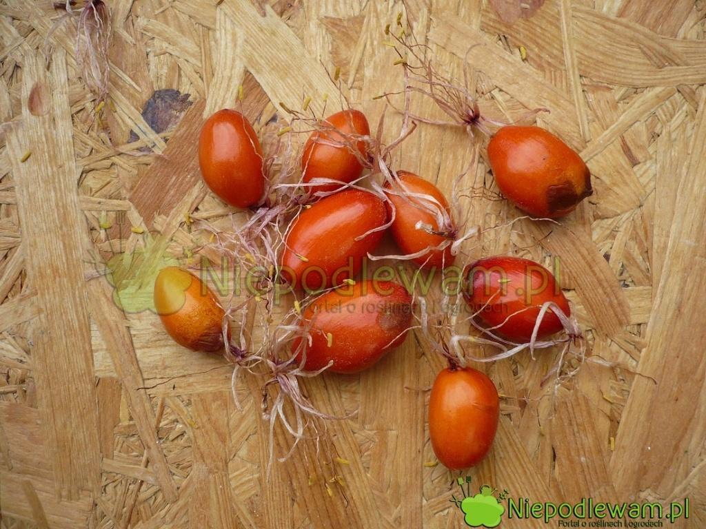Owoce krasnokwiatu Katarzyny - nasiona wschodzą już wewnątrz nich. Czasami zowoców wyłaniają się nawet zielone listki. Fot.Niepodlewam