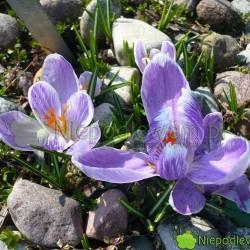 Krokus wiosenny Pckwick to stara odmiana. Kwiaty są fioletowe. Fot. Niepodlewam