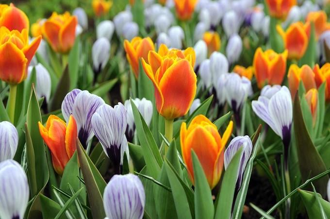 Krokusy wiosenne Pckwick wkompozycji zpomarańczowymi, niskimi tulipanami. Fot.Niepodlewam