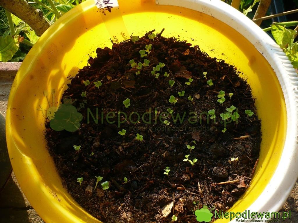 Nasiona mizuny wschodzą bardzo szybko. Ziemia powinna być lekko wilgotna. Fot.Niepodlewam