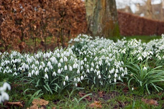 Śnieżyczka przebiśnieg natym samym stanowisku można rosnąć latami. Tworzy kwitnące kępy. Fot.iBulb