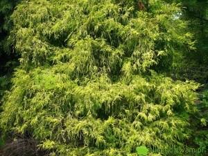 Cyprysik groszkowy Filifera Aurea to stara, odporna odmiana z końca XIX wieku. Fot. Niepodlewam