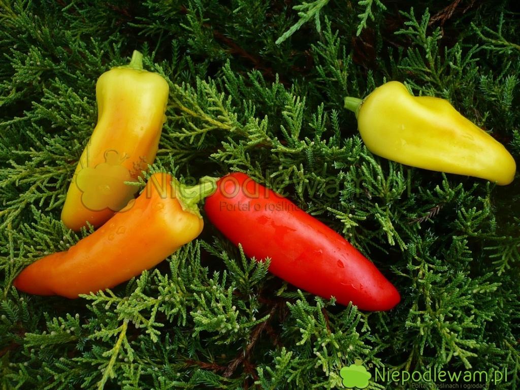 Papryka Hungarian Yellow Wax  ma owoce żółtem, potem pomarańczowe, awpełni dojrzałości - czerwone. Najbardziej ostre wsmaku są żółte, anajmniej wpełni dojrzałe, czyli czerwone. Fot.Niepodlewam