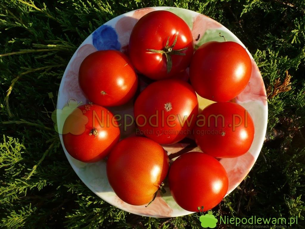 Pomidor Bohun topolska odmiana. Jest niski. Niepotrzebuje cięcia. Fot.Niepodlewam