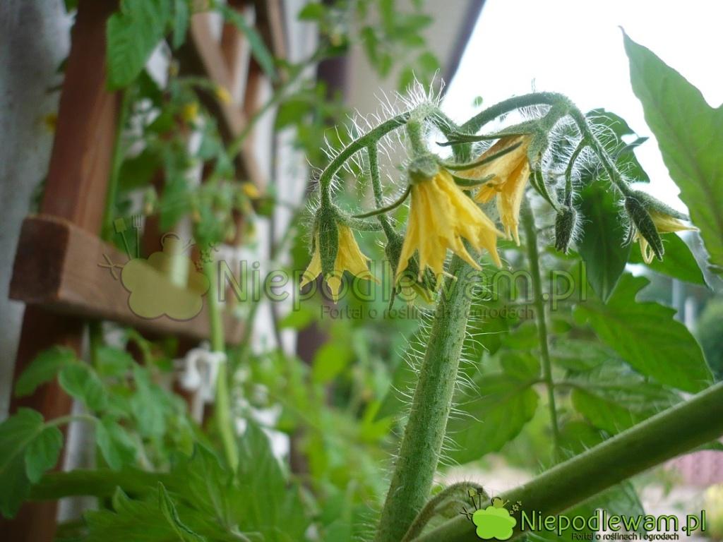 W amatorskiej uprawie pomidory Bohun niesprawiają większych problemów. Fot.Niepodlewam