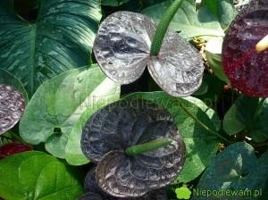 Anturium Black Queen ma czarne kwiaty. Fot. Niepodlewam