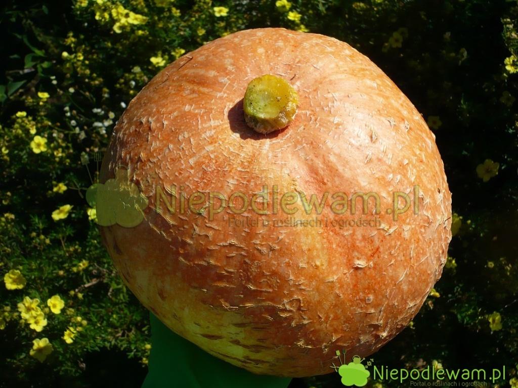 Dynia olbrzymia Bambino jest pomarańczowa, okrągła.  Fot.Niepodlewam