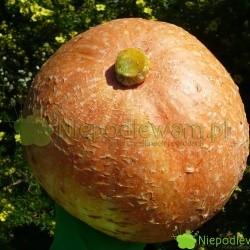 Dynia olbrzymia Bambino jest pomarańczowa, okrągła.  Fot. Niepodlewam