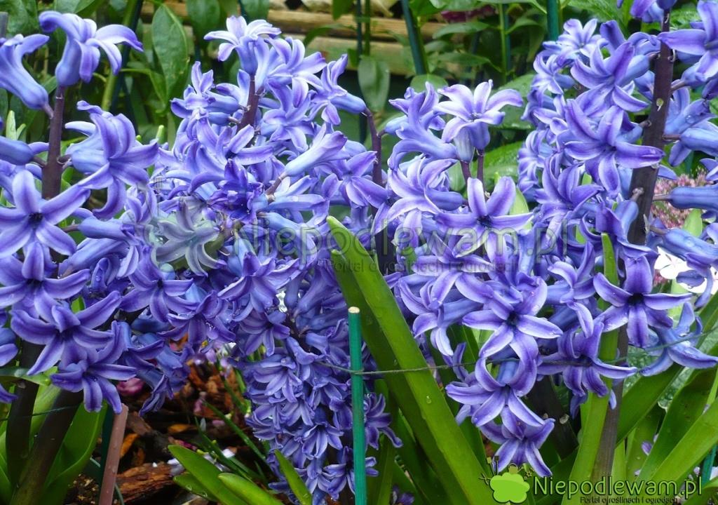Hiacynt wschodni Blue Jacket ma niebieskie, ślicznie pachnące kwiaty. Fot.Niepodlewam