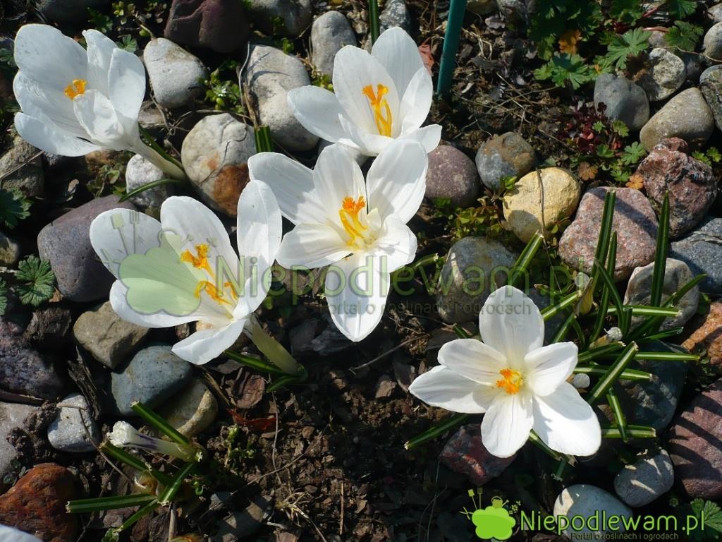 Krokus wiosenny Jeanne d`Arc ma białe kwiaty. Tostara, słynna odmiana. Fot.Niepodlewam
