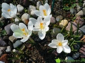 Krokus wiosenny Jeanne d`Arc ma białe kwiaty. To stara, słynna odmiana. Fot. Niepodlewam