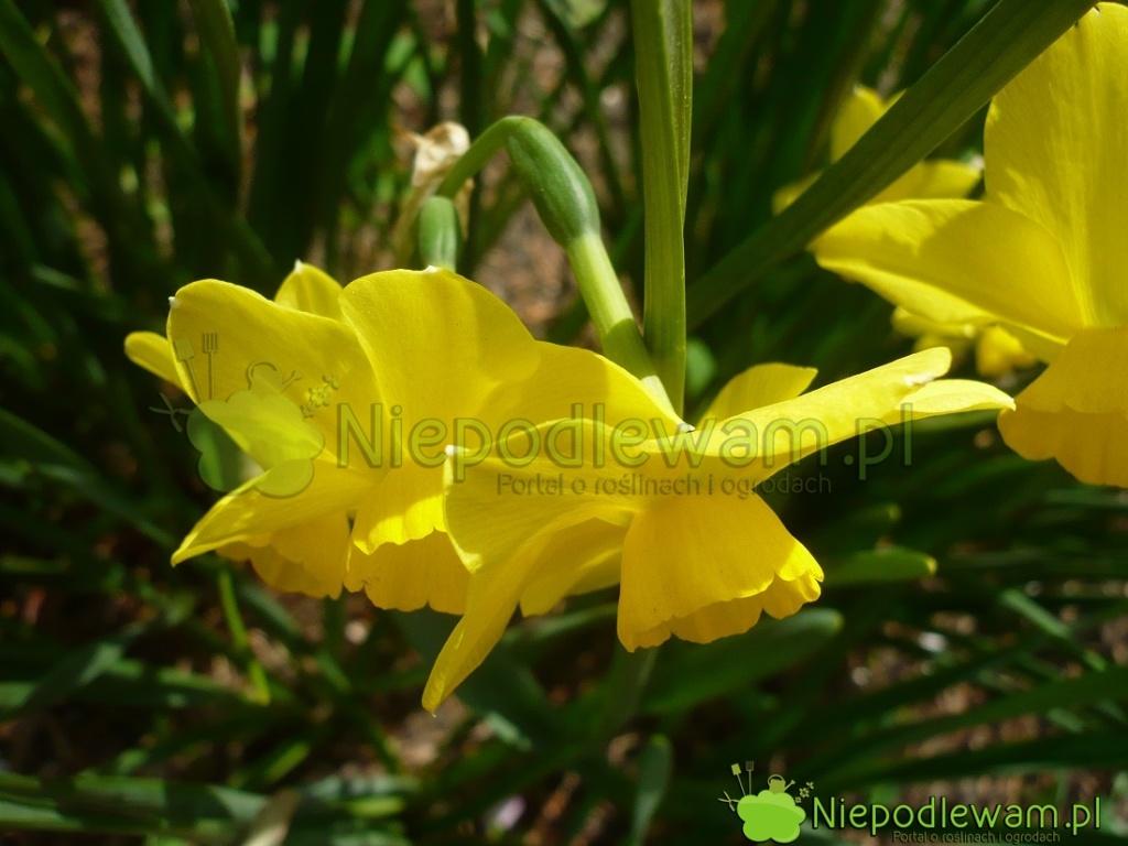 Na pędzie kwiatowym narcyz Tete-a-Tete ma po1-3 kwiatki. Fot.Niepodlewam