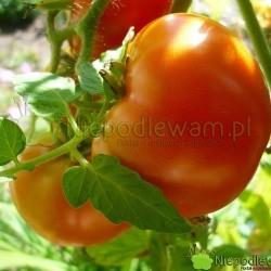 Pomidor Babinicz to karłowa odmiana. Ma czerwone owoce. Fot. Niepodlewam